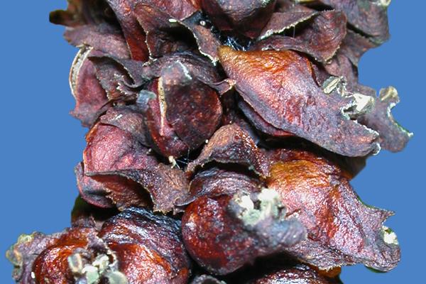 Boschniakia rossica là một trong những thành phần của thuốc cường dương Ngựa Thái