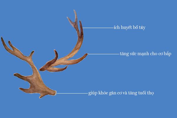 Tác dụng của nhung hươu trong thuốc cường dương Ngựa Thái
